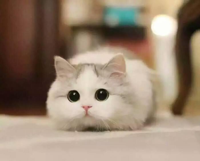 猫咪品种介绍|短腿猫、矮脚猫、柯基猫、腊肠猫插图(5)
