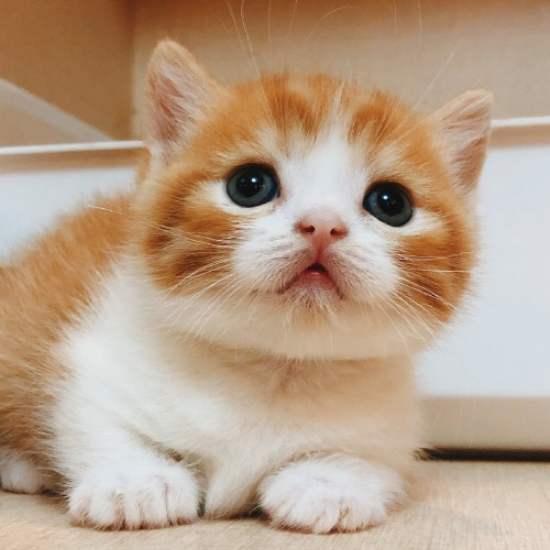 猫咪品种介绍|短腿猫、矮脚猫、柯基猫、腊肠猫插图(4)