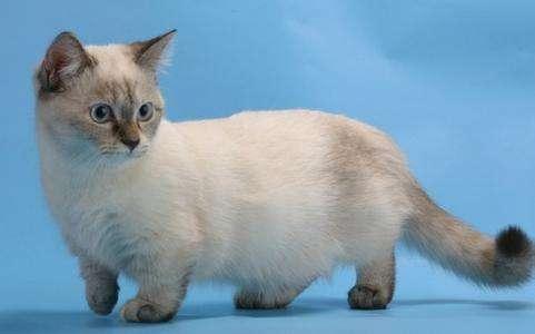 猫咪品种介绍|短腿猫、矮脚猫、柯基猫、腊肠猫插图(3)