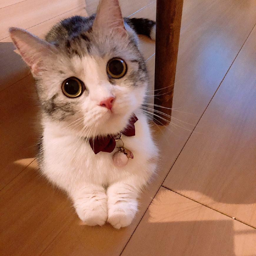 猫咪品种介绍|短腿猫、矮脚猫、柯基猫、腊肠猫插图