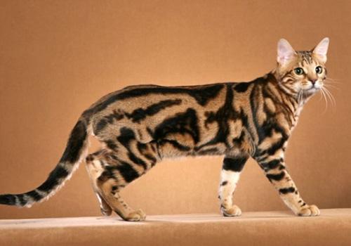 猫咪品种介绍 奥西猫插图(4)