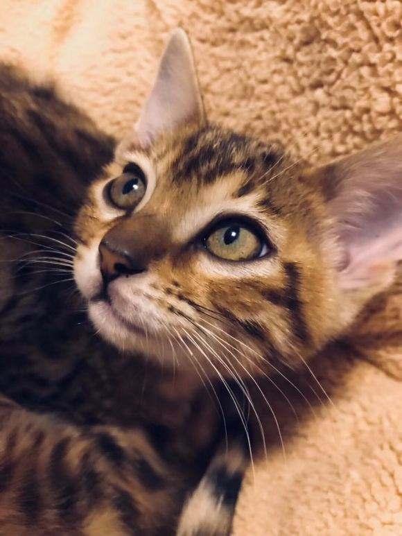 猫咪品种介绍 奥西猫插图(1)