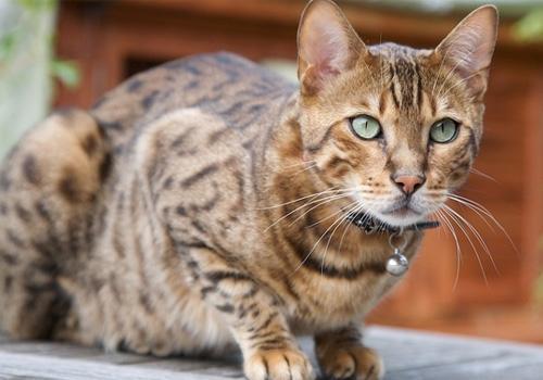 猫咪品种介绍 奥西猫插图