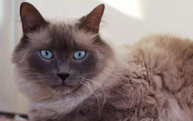 猫咪品种介绍|巴厘猫插图(5)