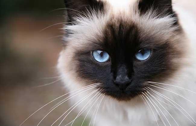猫咪品种介绍|巴厘猫插图(3)