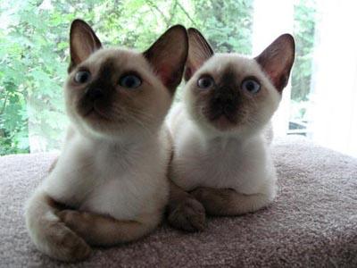 猫咪品种介绍|巴厘猫插图(2)