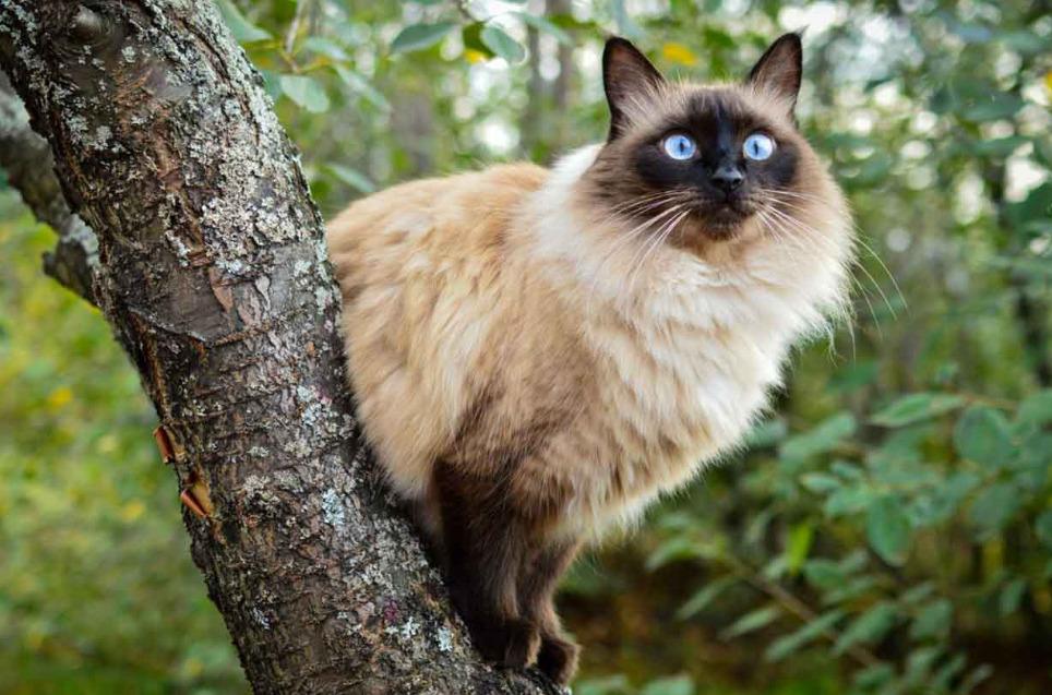 猫咪品种介绍|巴厘猫插图(1)