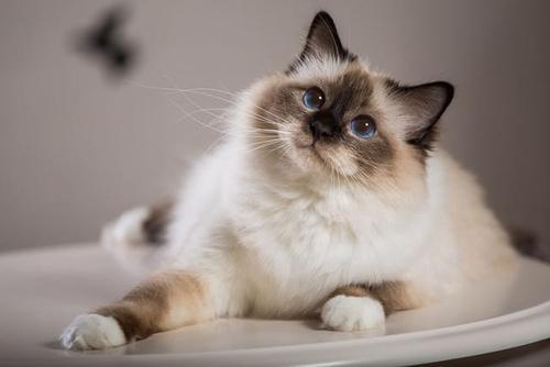猫咪品种介绍|巴厘猫插图