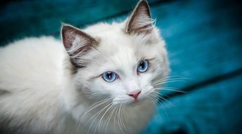 猫咪品种介绍|博美拉猫、波米拉猫插图(1)
