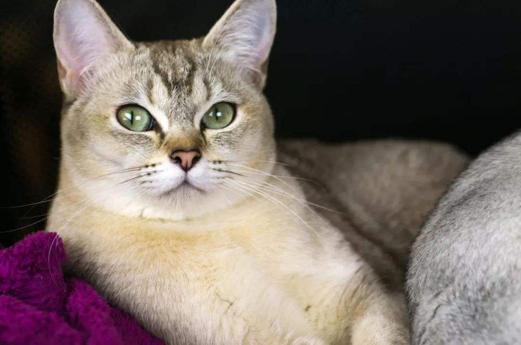 猫咪品种介绍|博美拉猫、波米拉猫插图