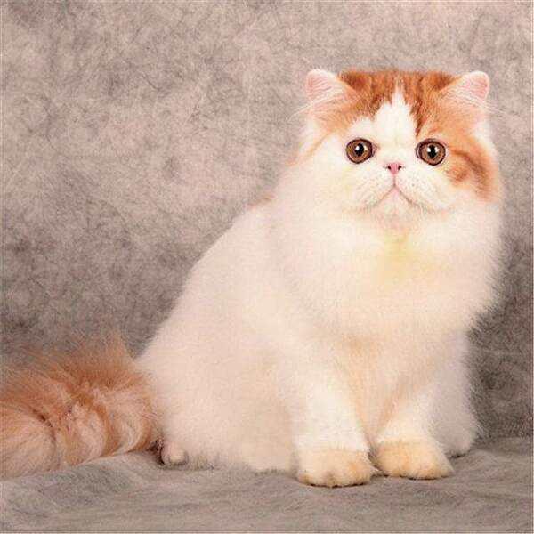 猫咪品种介绍|波斯猫插图(4)