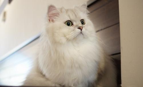 猫咪品种介绍|波斯猫插图(3)