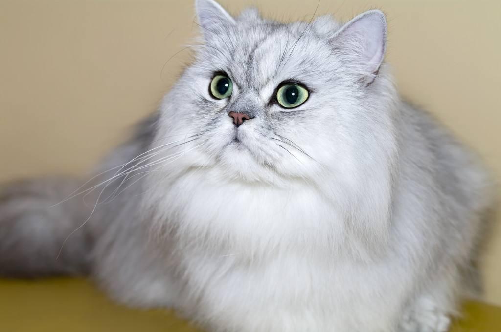 猫咪品种介绍|波斯猫插图(2)