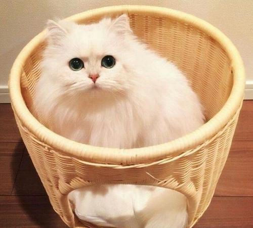猫咪品种介绍|波斯猫插图(1)