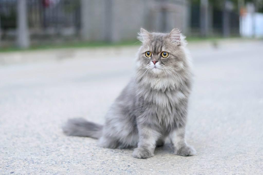猫咪品种介绍|波斯猫插图