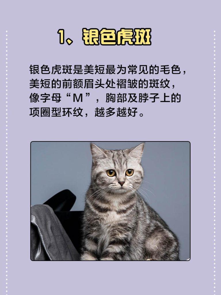 美国短毛猫常见的7种颜色|你都认识吗?插图(1)