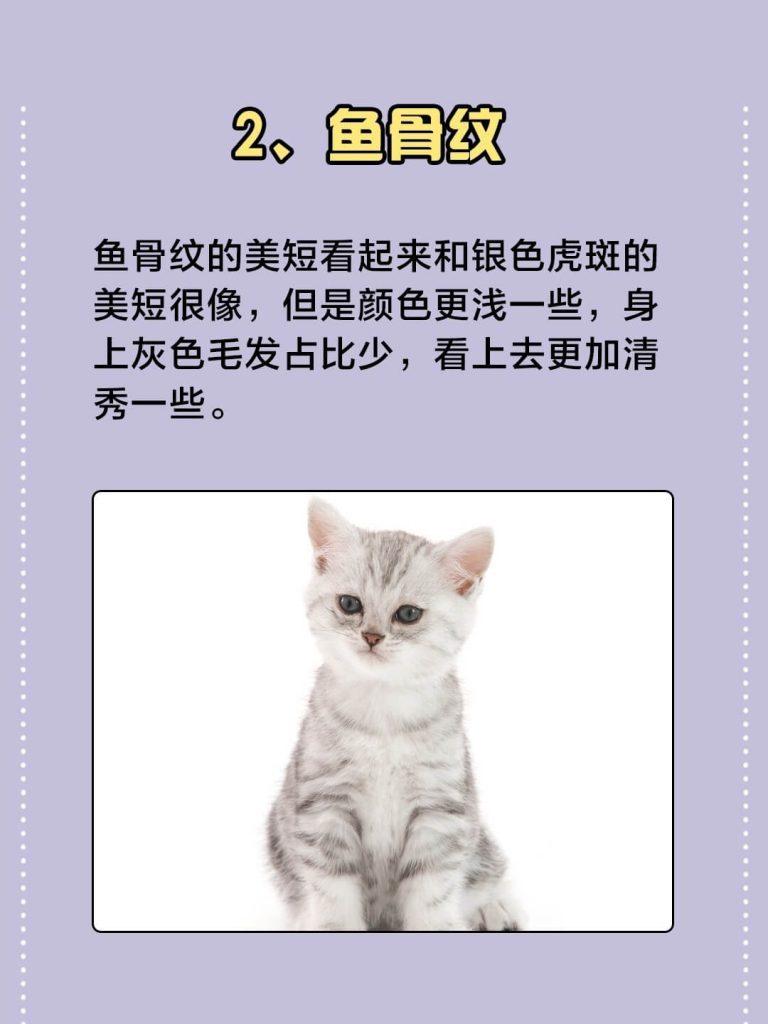 美国短毛猫常见的7种颜色|你都认识吗?插图(2)
