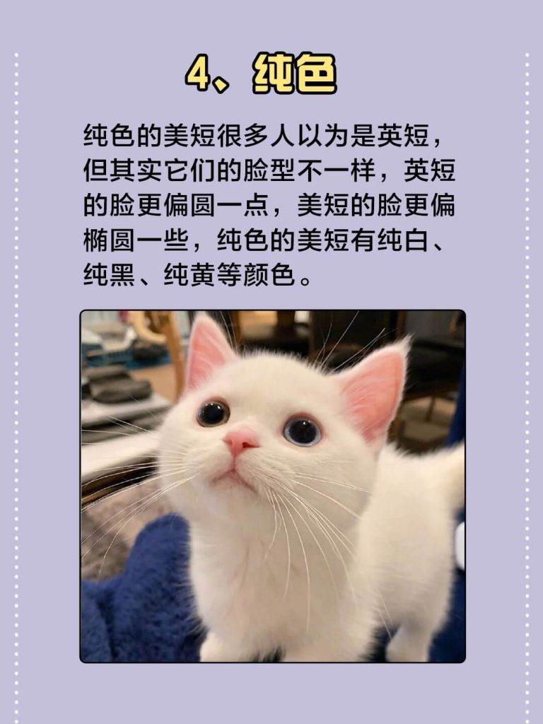 美国短毛猫常见的7种颜色|你都认识吗?插图(4)