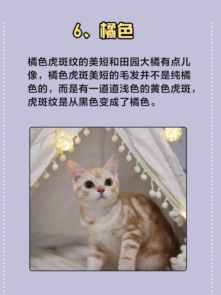 美国短毛猫常见的7种颜色|你都认识吗?插图(6)