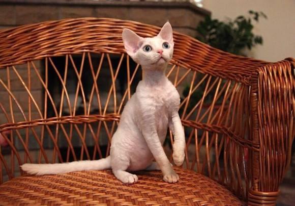 猫咪品种介绍|德文卷毛猫插图