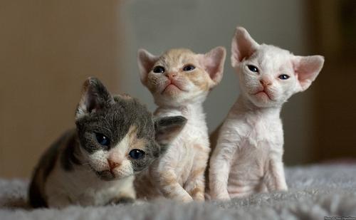 猫咪品种介绍|德文卷毛猫插图(1)