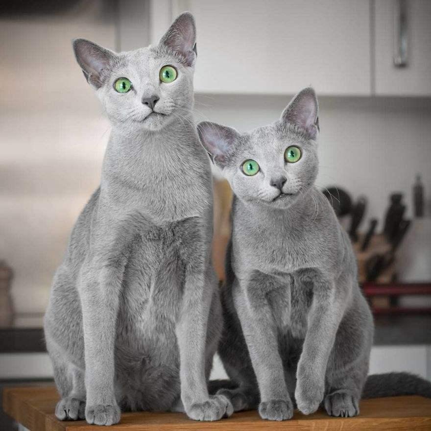 猫咪品种介绍|俄罗斯蓝猫,阿契安吉蓝猫插图(5)