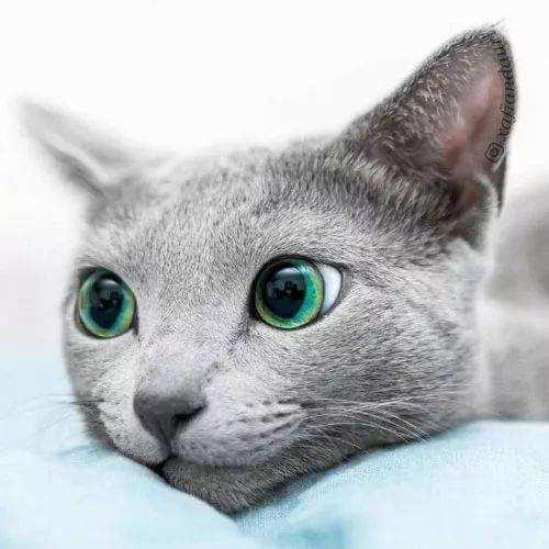 猫咪品种介绍|俄罗斯蓝猫,阿契安吉蓝猫插图(3)