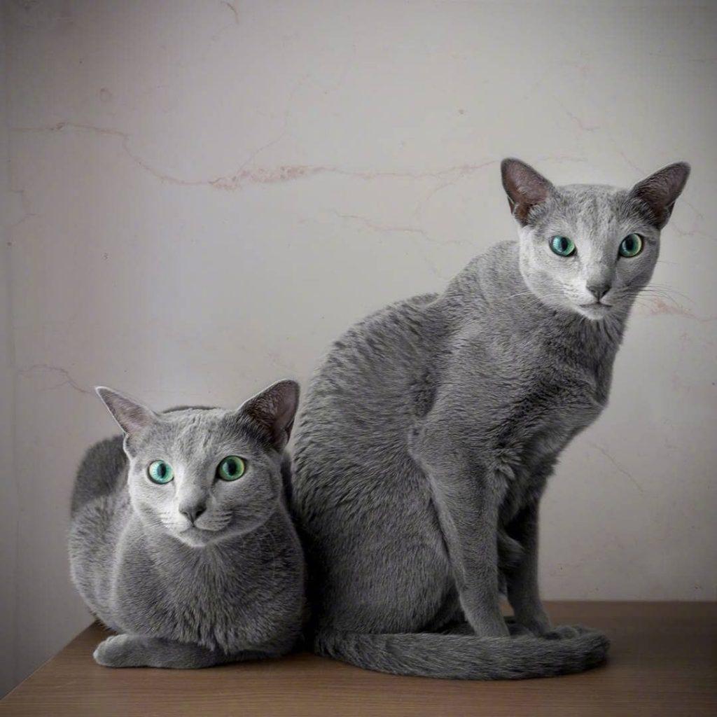 猫咪品种介绍|俄罗斯蓝猫,阿契安吉蓝猫插图(2)