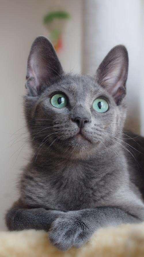 猫咪品种介绍|俄罗斯蓝猫,阿契安吉蓝猫插图(1)