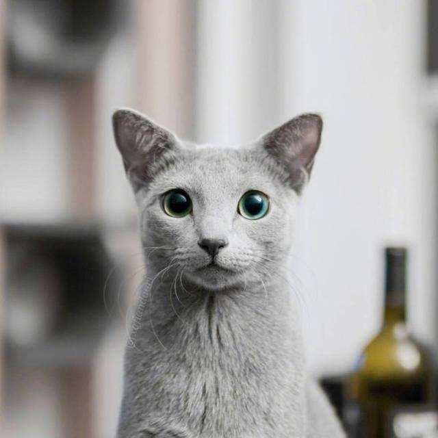 猫咪品种介绍|俄罗斯蓝猫,阿契安吉蓝猫插图