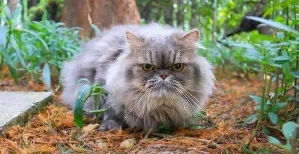 猫想出去玩怎么办,猫咪总是往外面跑是什么原因呢,不想回家为什么,怎么教育防止插图(1)