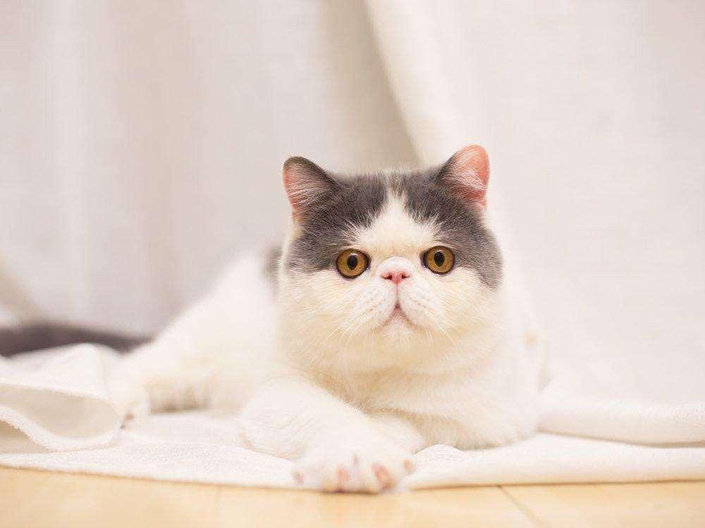 怎么让猫咪发腮,猫咪发腮攻略指南插图