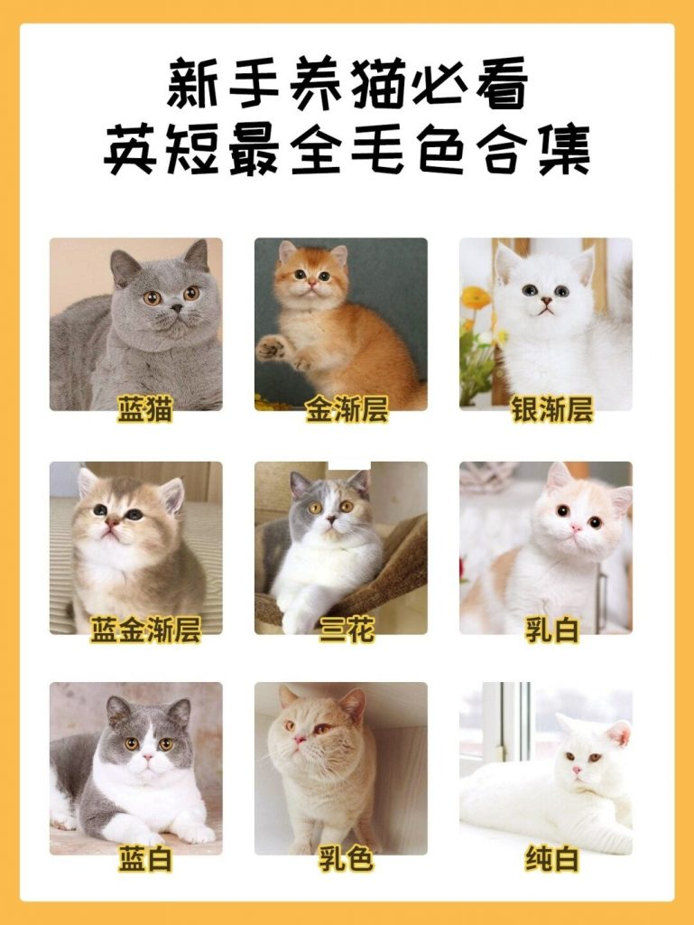 猫咪品种介绍|英短最全毛色合集插图