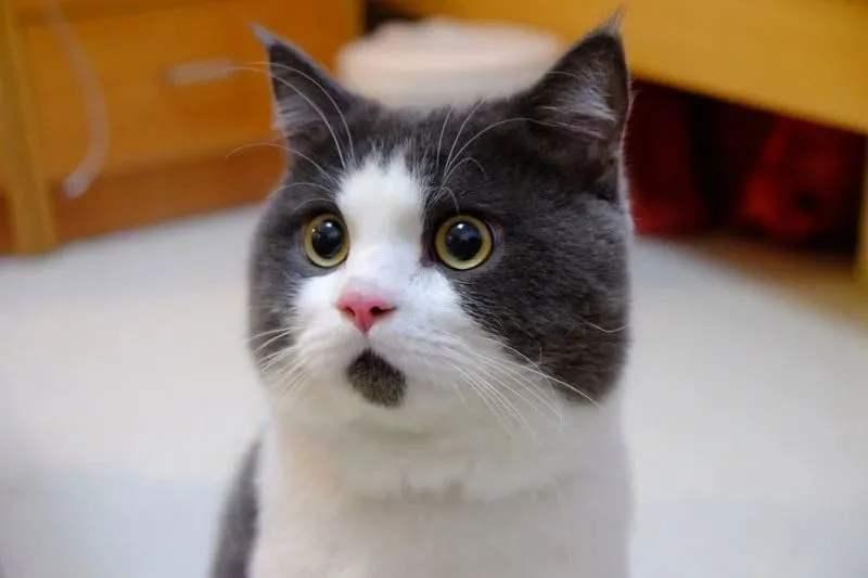 猫咪黑下巴怎么办?日常预防&护理方案插图