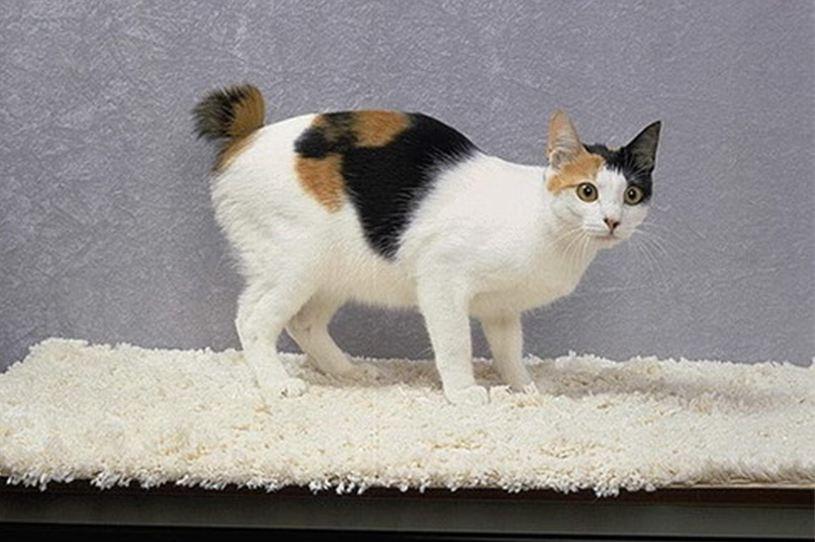 猫咪品种介绍|日本短尾猫插图(4)