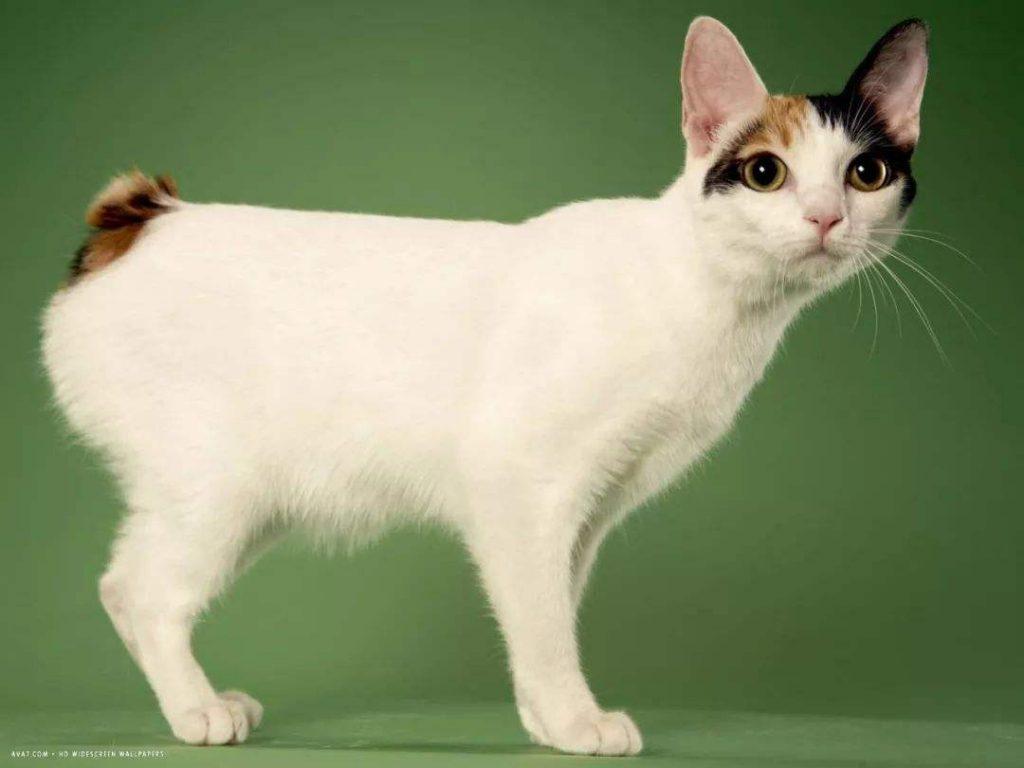 猫咪品种介绍|日本短尾猫插图(3)