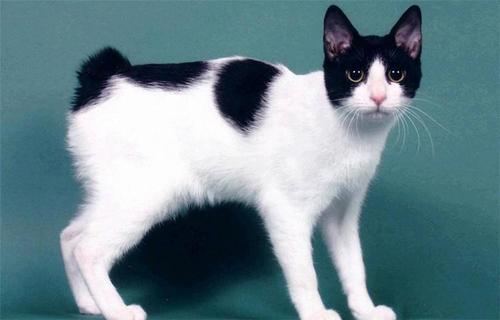 猫咪品种介绍|日本短尾猫插图
