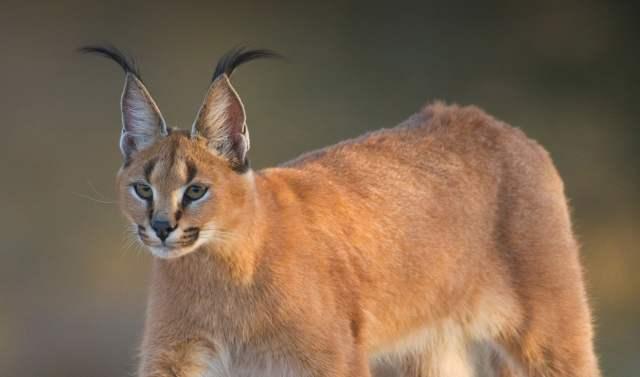 猫咪百科,你绝对不能饲养的那些猫咪品种插图(2)