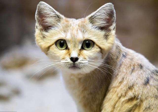 猫咪百科,你绝对不能饲养的那些猫咪品种插图(3)