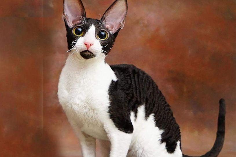 猫咪品种介绍|柯尼斯卷毛猫插图