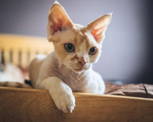 猫咪品种介绍|柯尼斯卷毛猫插图(3)