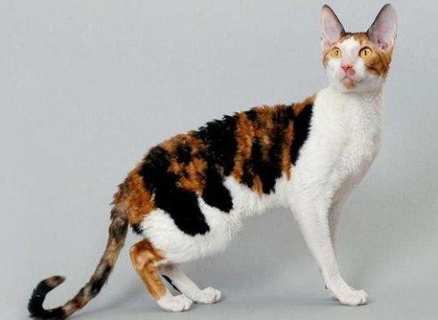 猫咪品种介绍|柯尼斯卷毛猫插图(4)