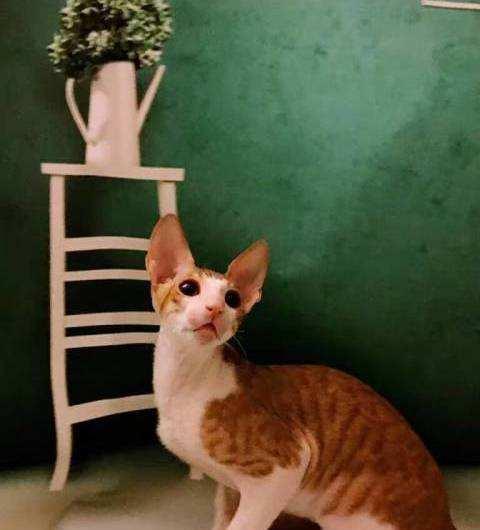 猫咪品种介绍|柯尼斯卷毛猫插图(2)