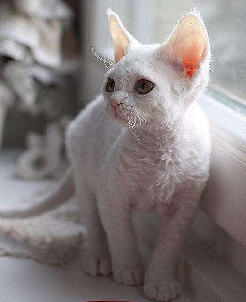 猫咪品种介绍|柯尼斯卷毛猫插图(1)