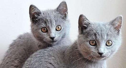 猫咪品种介绍|卡特尔猫插图(5)