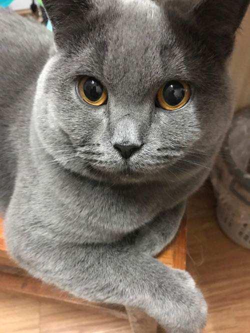猫咪品种介绍|卡特尔猫插图(4)