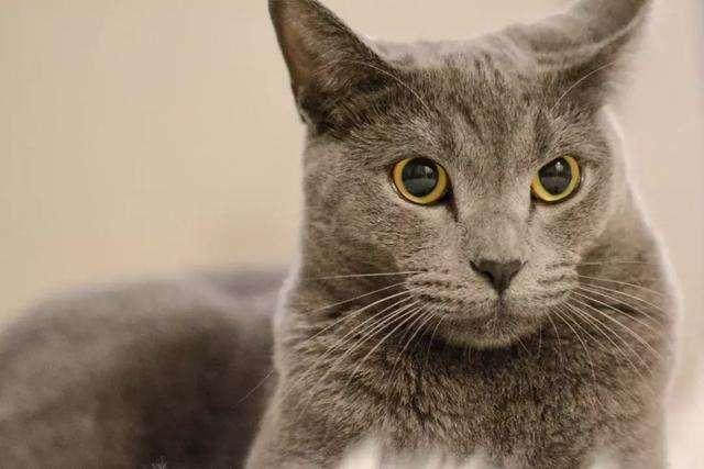 猫咪品种介绍|卡特尔猫插图(3)
