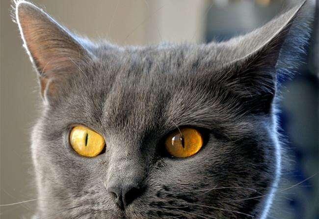 猫咪品种介绍|卡特尔猫插图(2)