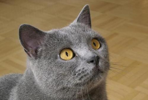 猫咪品种介绍|卡特尔猫插图(1)