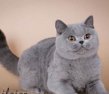 如何挑选英短蓝猫插图